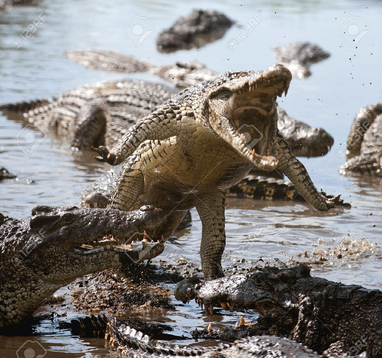 http://previews.123rf.com/images/surz/surz1110/surz111000040/10800872-Attack-crocodile-Cuban-Crocodile-crocodylus-rhombifer--Stock-Photo.jpg