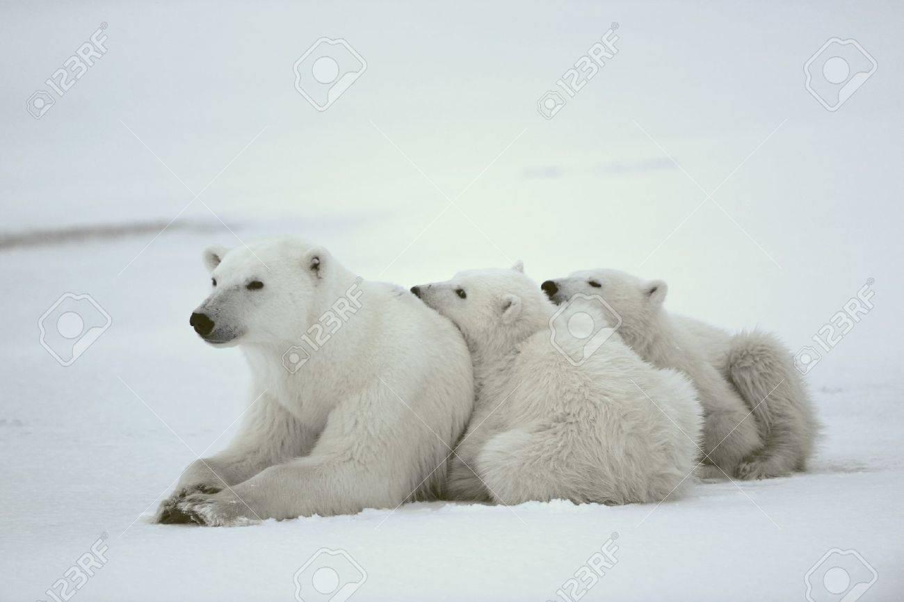 polar she bear with cubs the polar she bear with two kids on