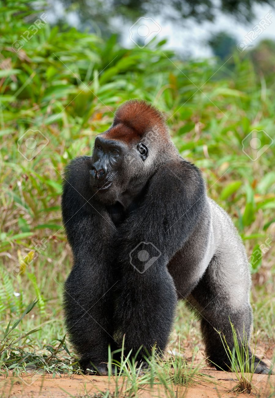 Silverback - adult male of a gorilla. Western Lowland Gorilla. Stock Photo - 11307413