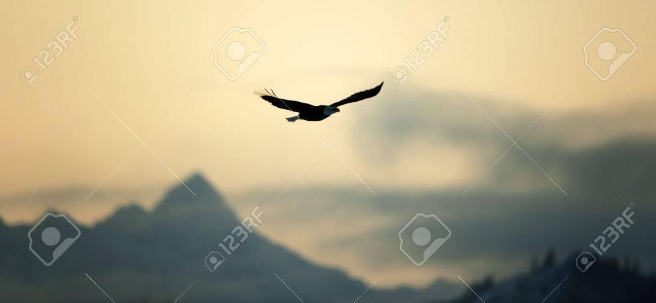 Flying Bald eagle ( Haliaeetus leucocephalus) on a decline against mountains. - 11555724