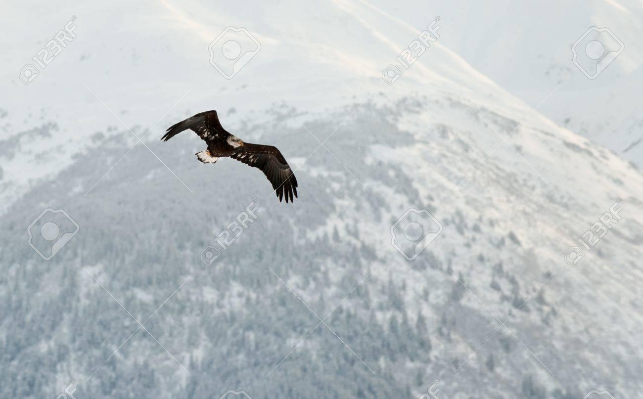 Flying Bald Eagle. Snow covered mountains. Alaska Chilkat Bald Eagle Preserve, Alaska, USA Stock Photo - 11874930