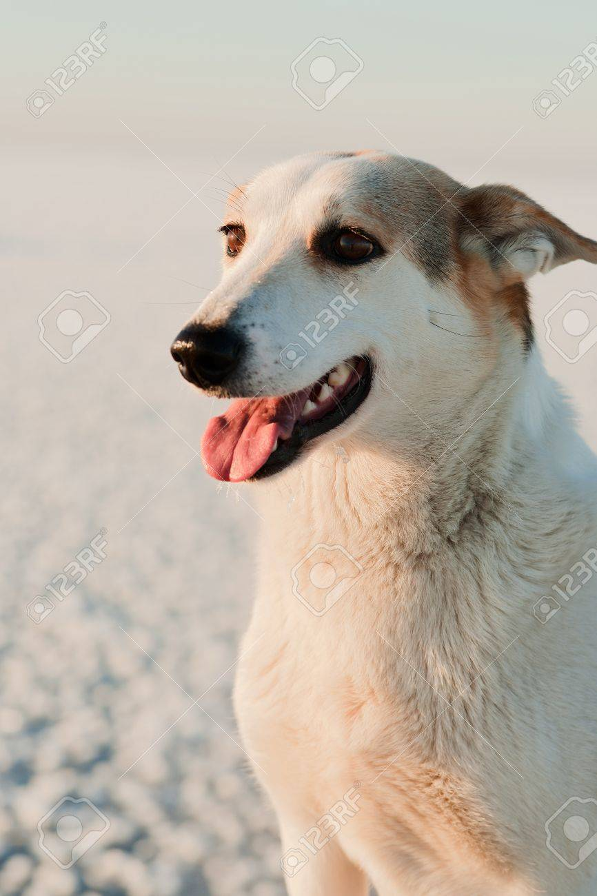 Portrait of a dog on a snow background in the light of the coming sun. Stock Photo - 12193299
