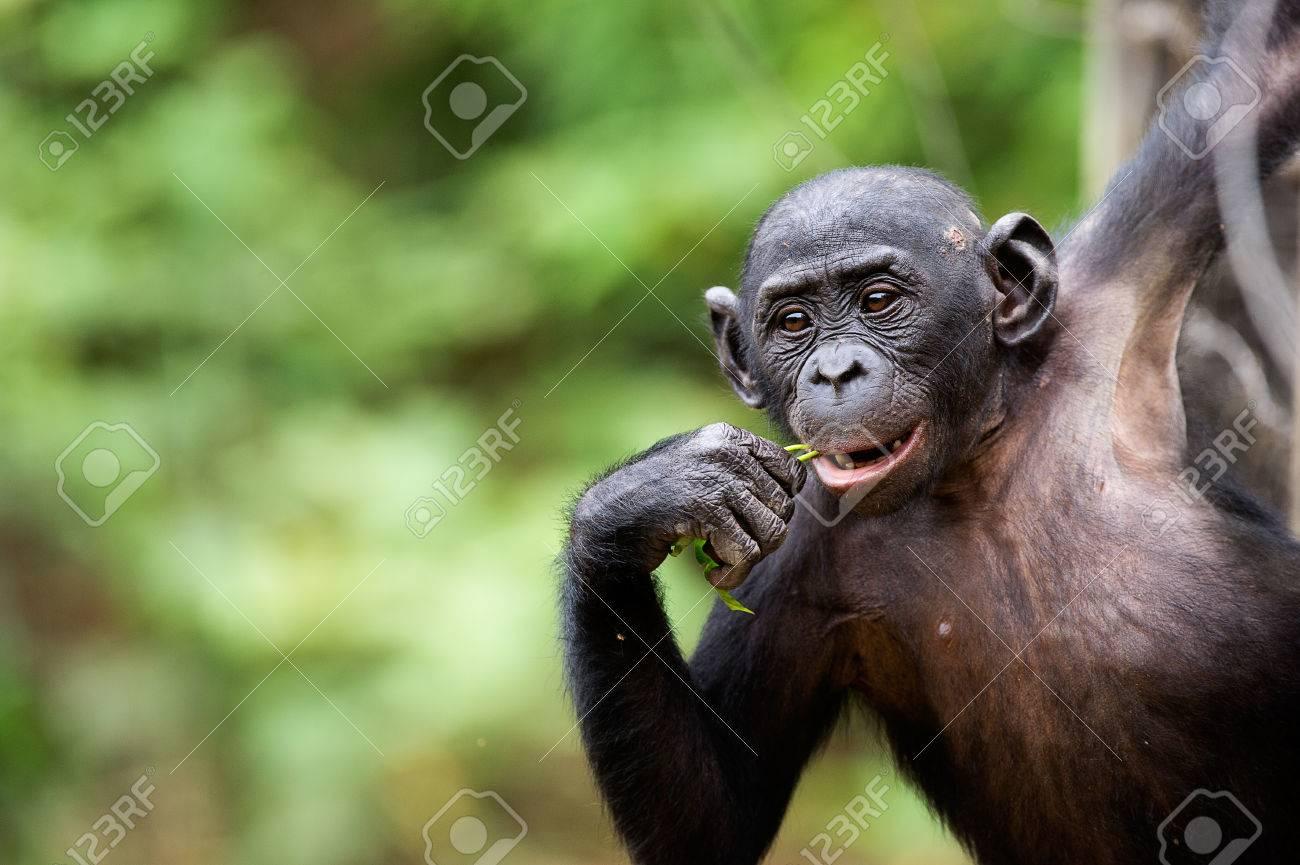 Cub of a Chimpanzee bonobo ( Pan paniscus). Democratic Republic of Congo. Africa Stock Photo - 25100610
