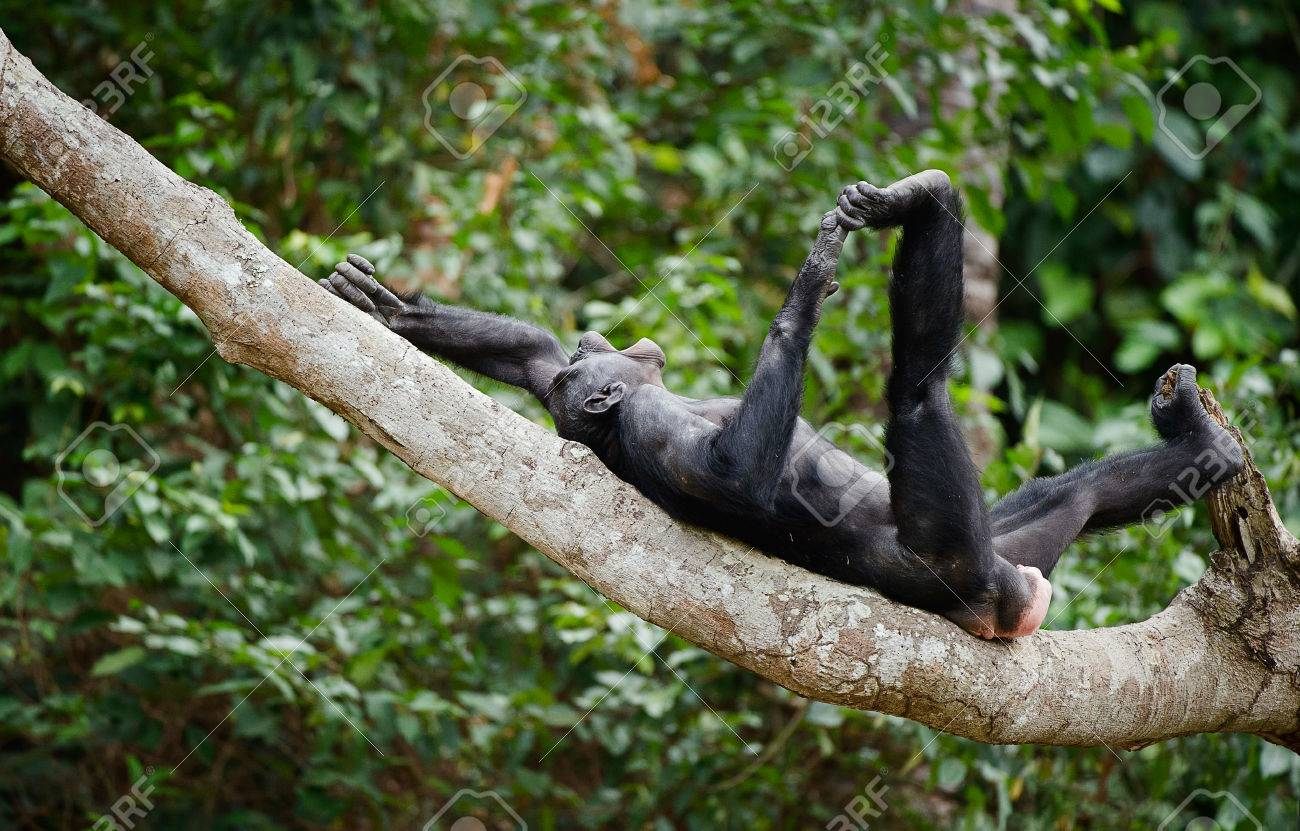 The laughing Bonobo on a tree branch. Democratic Republic of Congo. Africa - 25491496