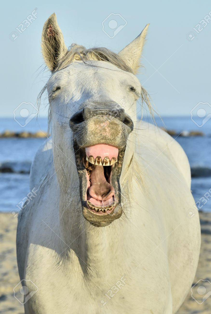 Funny Portrait Of A Laughing Horse Camargue Horse Yawning Looking Stock Photo Picture And Royalty Free Image Image 50439566
