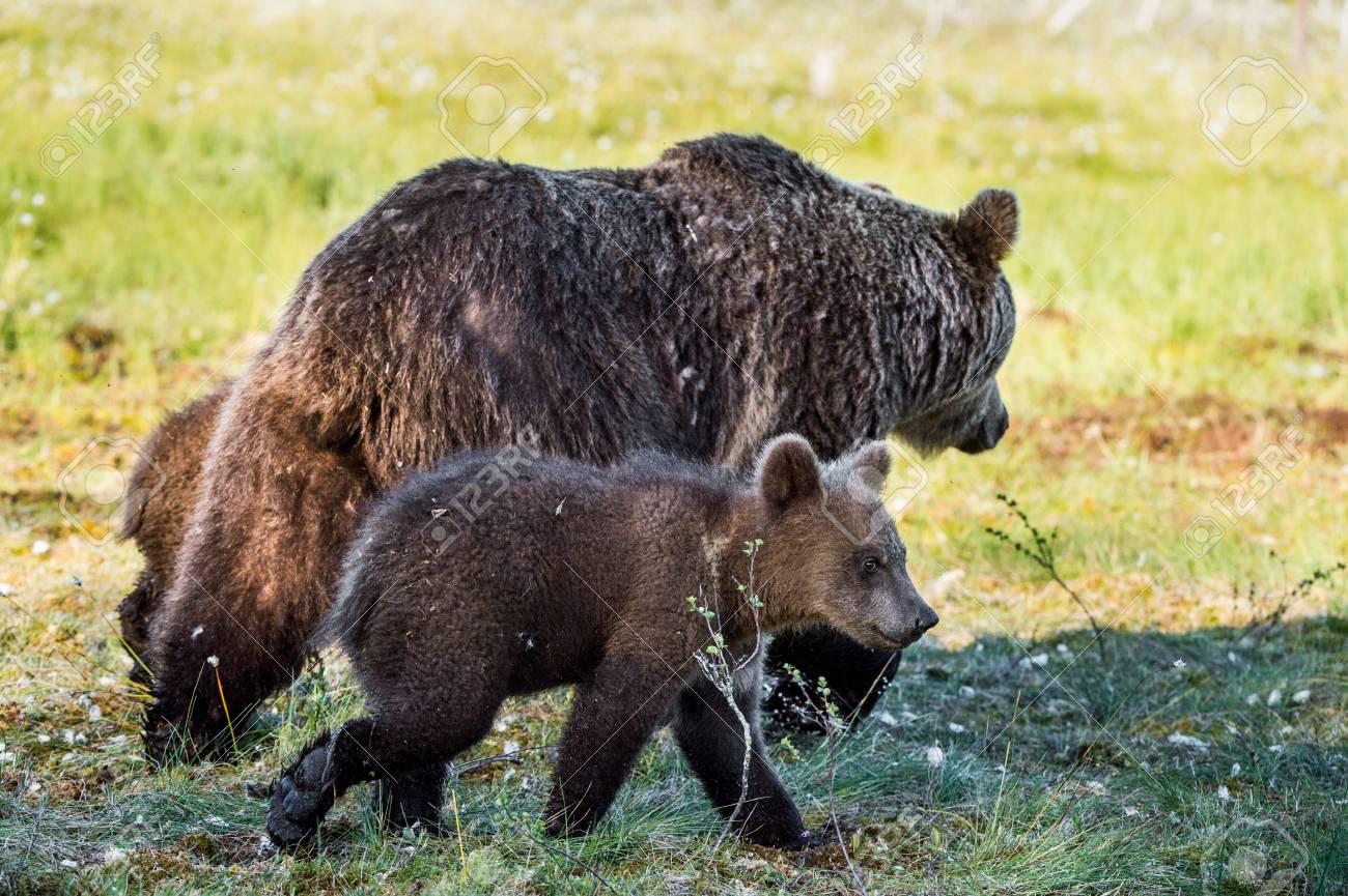 Image D Ours Brun elle-ours et les cubs de ours brun (ursus arctos arctos) dans la