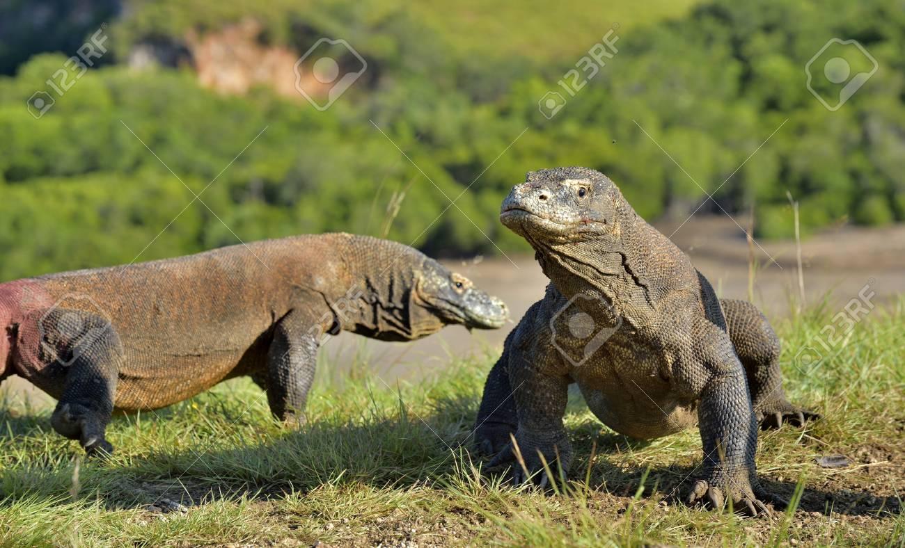 Dragon De Komodo Varanus Komodoensis Dans Son Habitat Naturel Le Plus Grand Lézard Vivant Du Monde L île De Rinca Indonésie Banque D Images Et Photos Libres De Droits Image 88146545