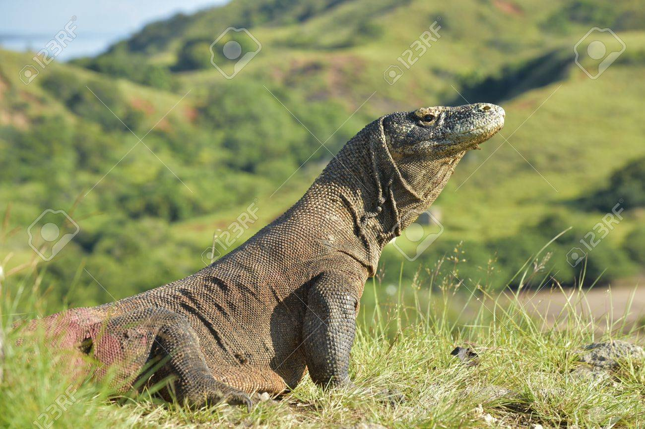 Komodo Dragon Varanus Komodoensis In Natural Habitat Biggest Stock Photo Picture And Royalty Free Image Image 88147156