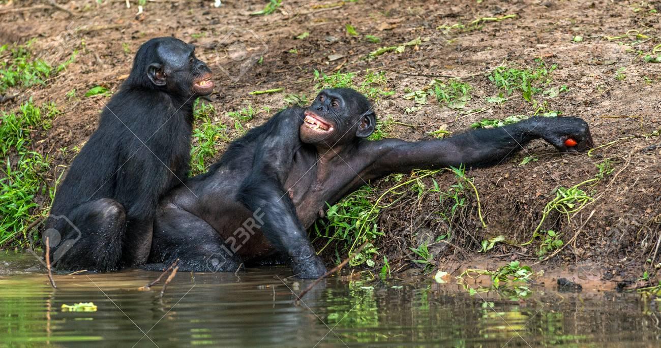 Free Ape Sex Videos bonobos mating in the water. the bonobo ( pan paniscus). democratic..