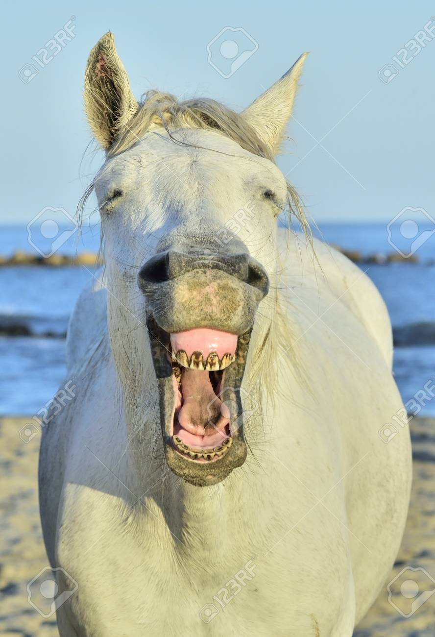 Funny Portrait Of A Laughing Horse Camargue Horse Yawning Looking Stock Photo Picture And Royalty Free Image Image 93954356
