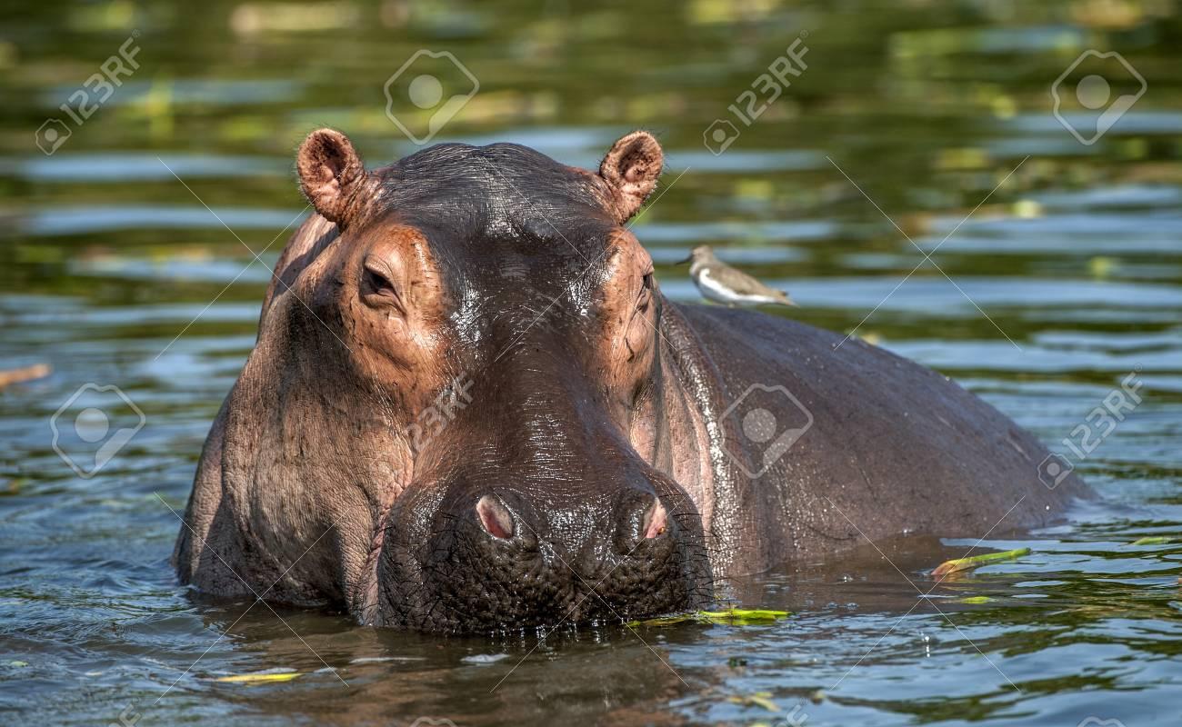 Common hippopotamus in the water. The common hippopotamus (Hippopotamus amphibius), or hippo. Africa - 94483246