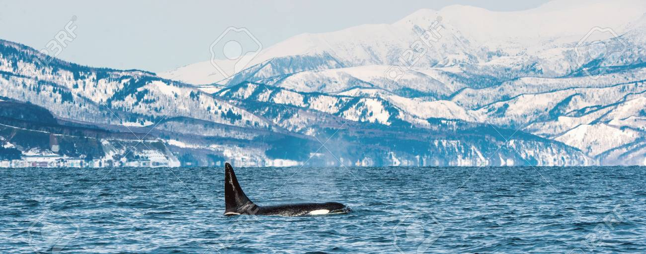 122683365-orca-or-killer-whale-orcinus-o