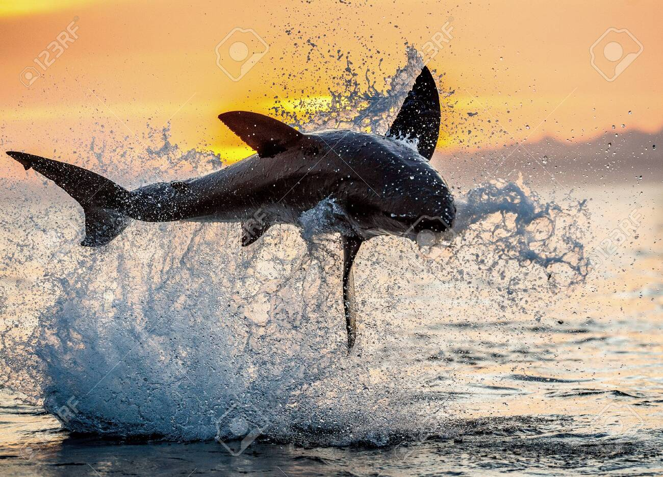 jumping Great White Shark. Red sky of sunrise. Great White Shark breaching in attack. Scientific name: Carcharodon carcharias. South Africa. - 130651183