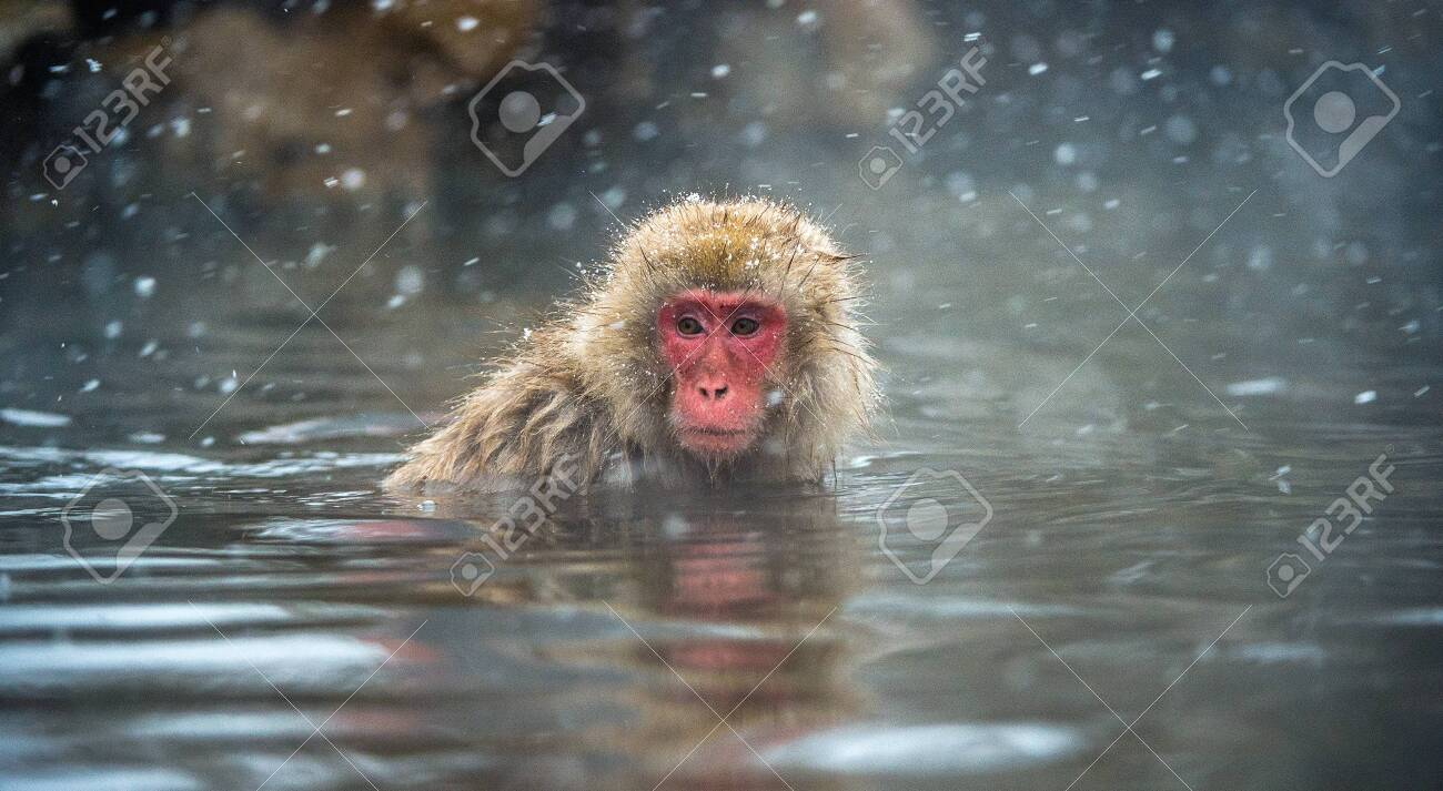 The Japanese macaque at Jigokudani hotsprings. Japanese macaque,Scientific name: Macaca fuscata, also known as the snow monkey. - 135062562