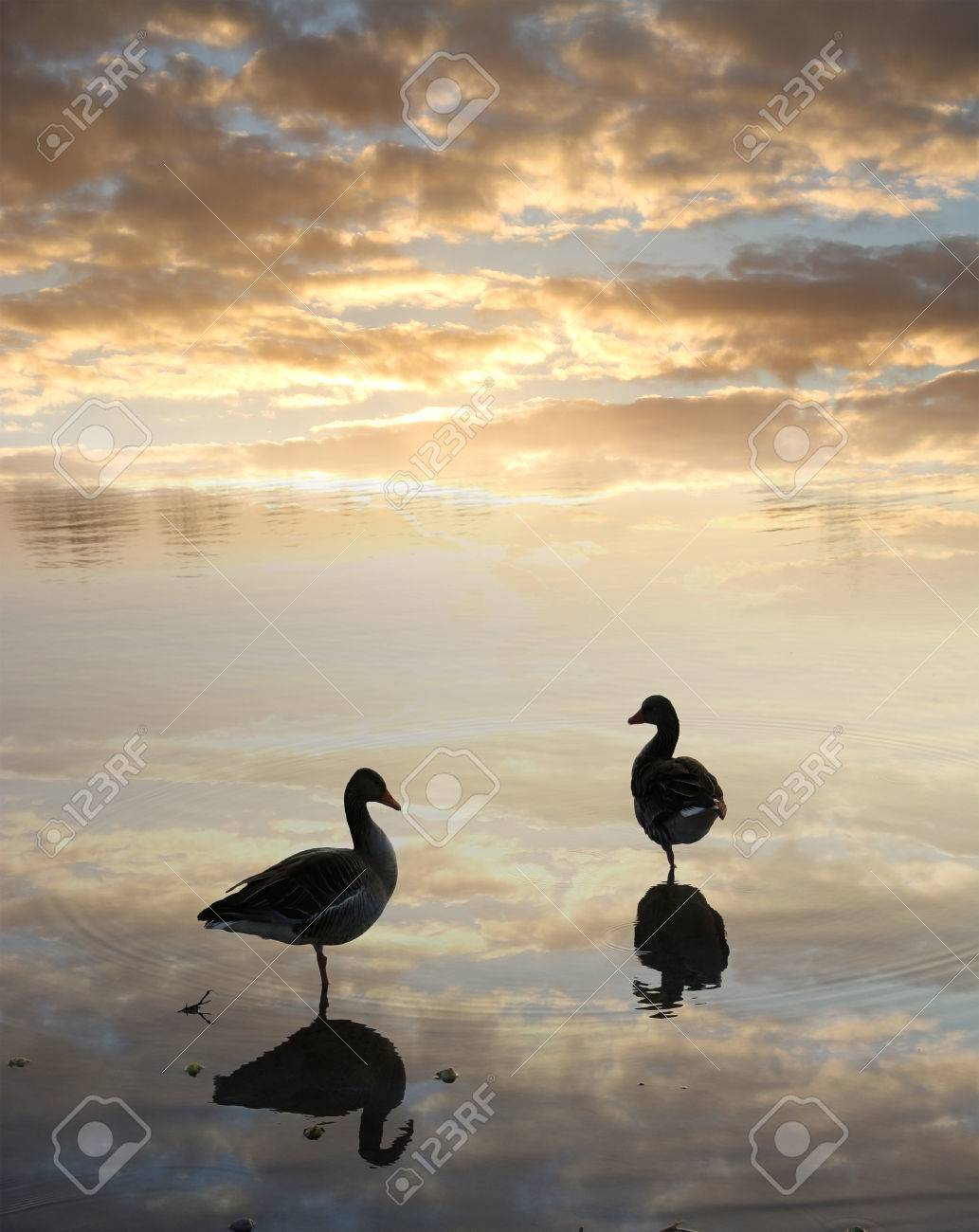 two black ducks swimming in a lake images u0026 stock pictures