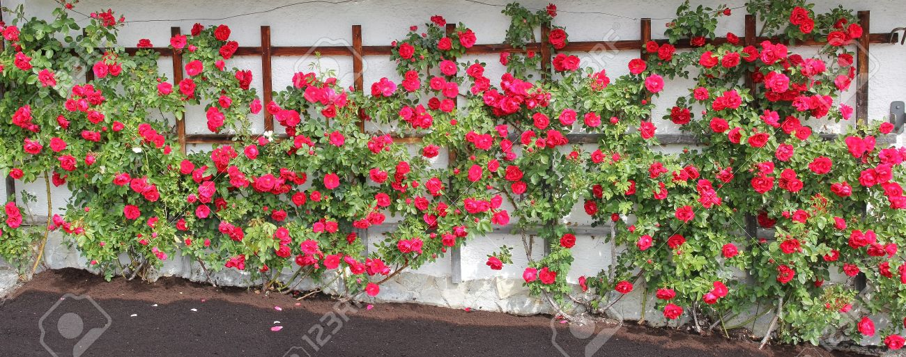 Beliebt Bevorzugt Kletterrose Spalier Mit Roten Rosen, Blüte Lizenzfreie Fotos #VD_43