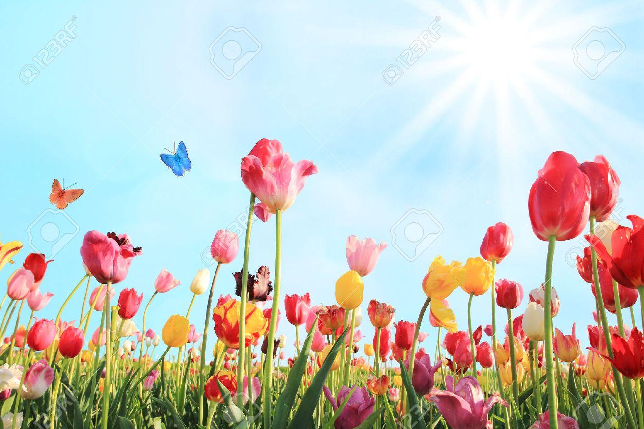 Belle Journée Ensoleillée De Mai Avec Champs De Tulipes De ...