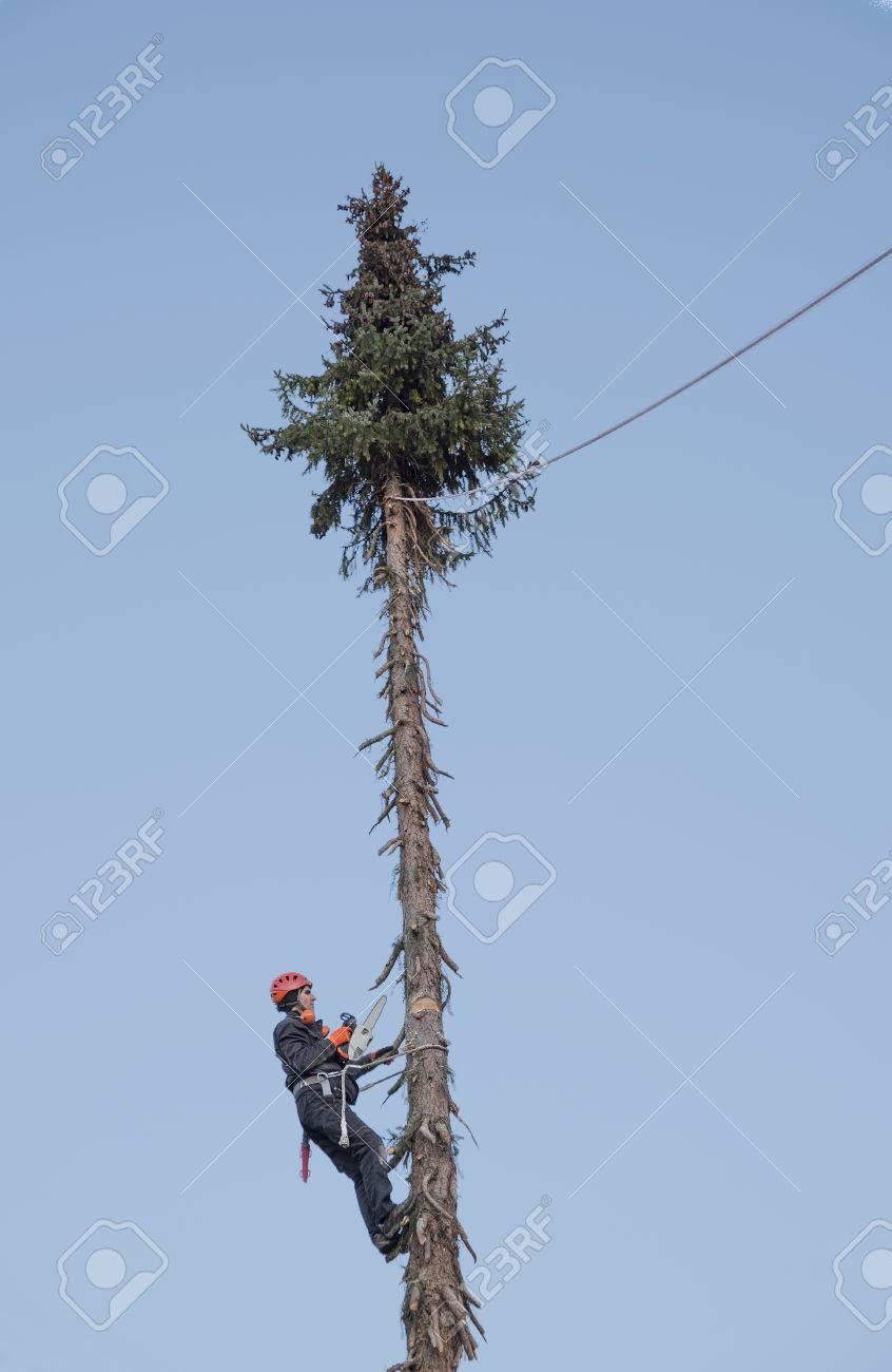 lumberjack hängen hoch in der tanne auf, eine schnittfuge zum fällen