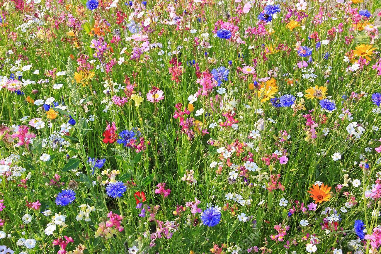 Schöne Blumenwiese Mit Verschiedenen Bunten Blumen Futterpflanzen