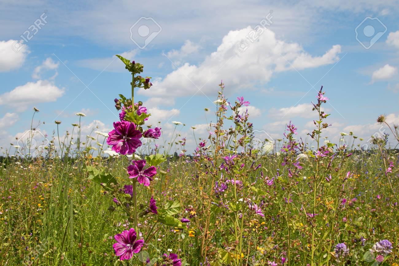 Schöne Blumenwiese Mit Hohen Malven Rosa Malve Sylvestris Blauer