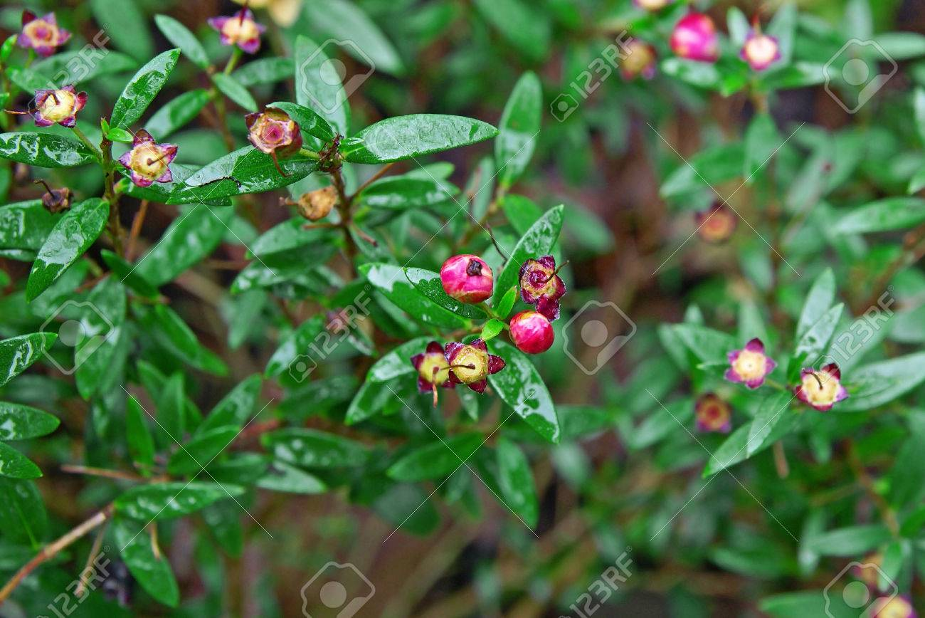 Plant With Pink Flowers And Small Leaves Stock Photo Picture And