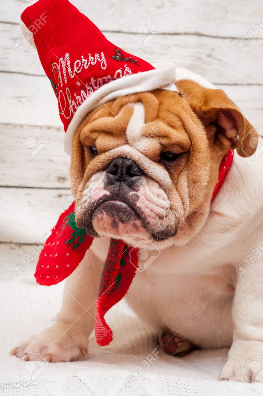 English Bulldog In Santa Claus Hat. Christmas Card - Dog In A ...