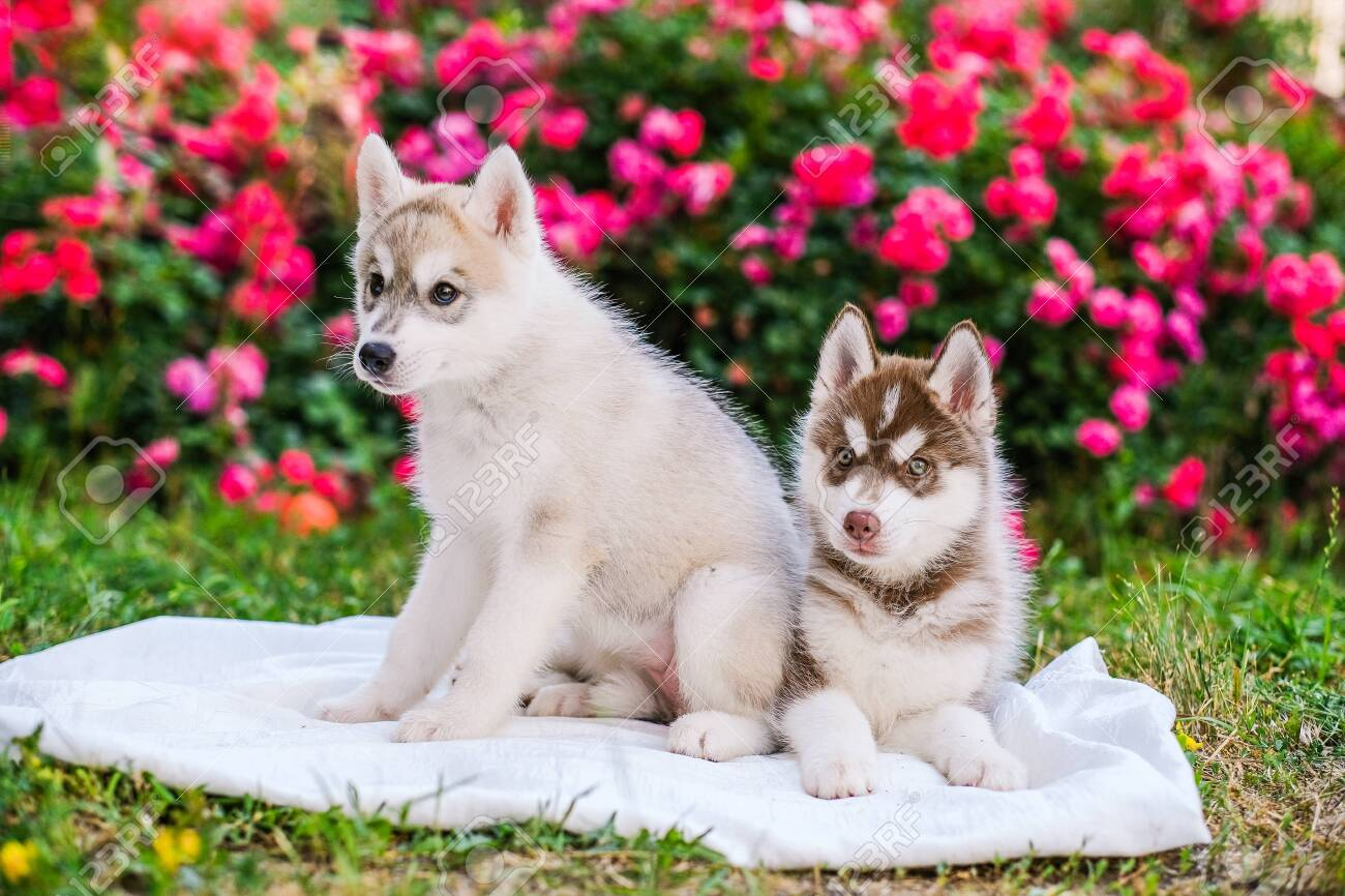 Happy Siberian Husky Puppies Posing Outside Super Cute Puppies Stock Photo Picture And Royalty Free Image Image 152377345