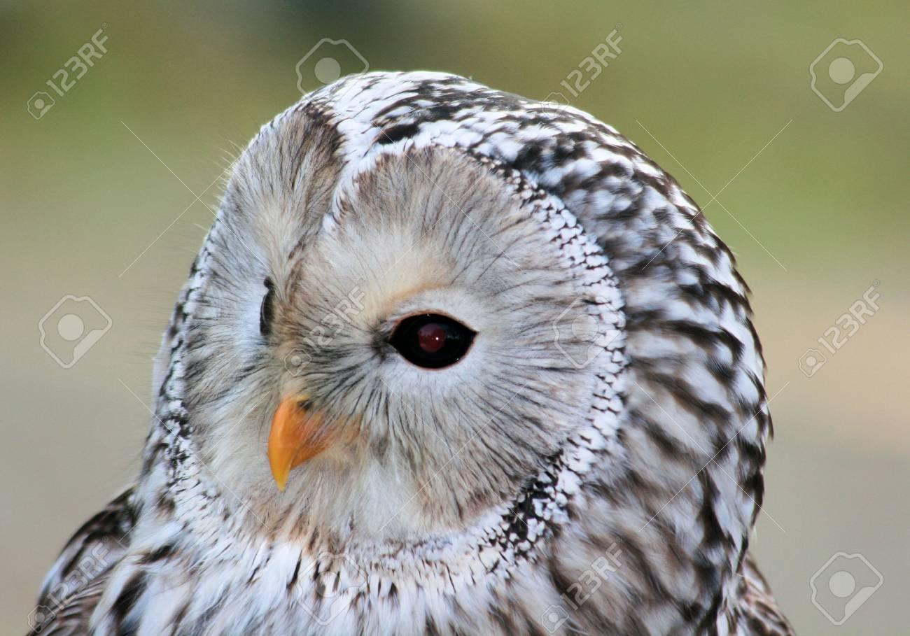 フクロウ 白い
