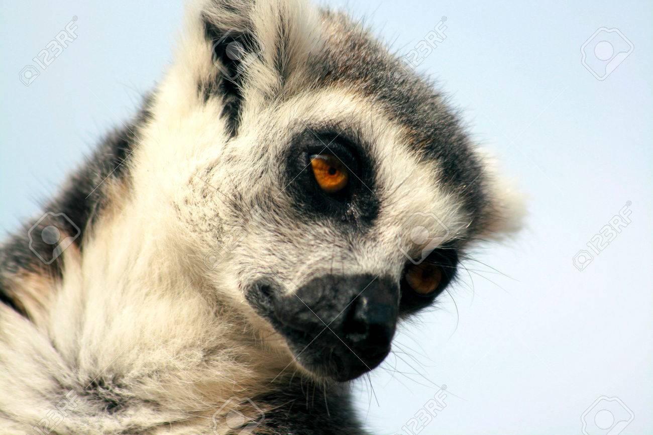 ring tailed lemur taking a nap - 50846467
