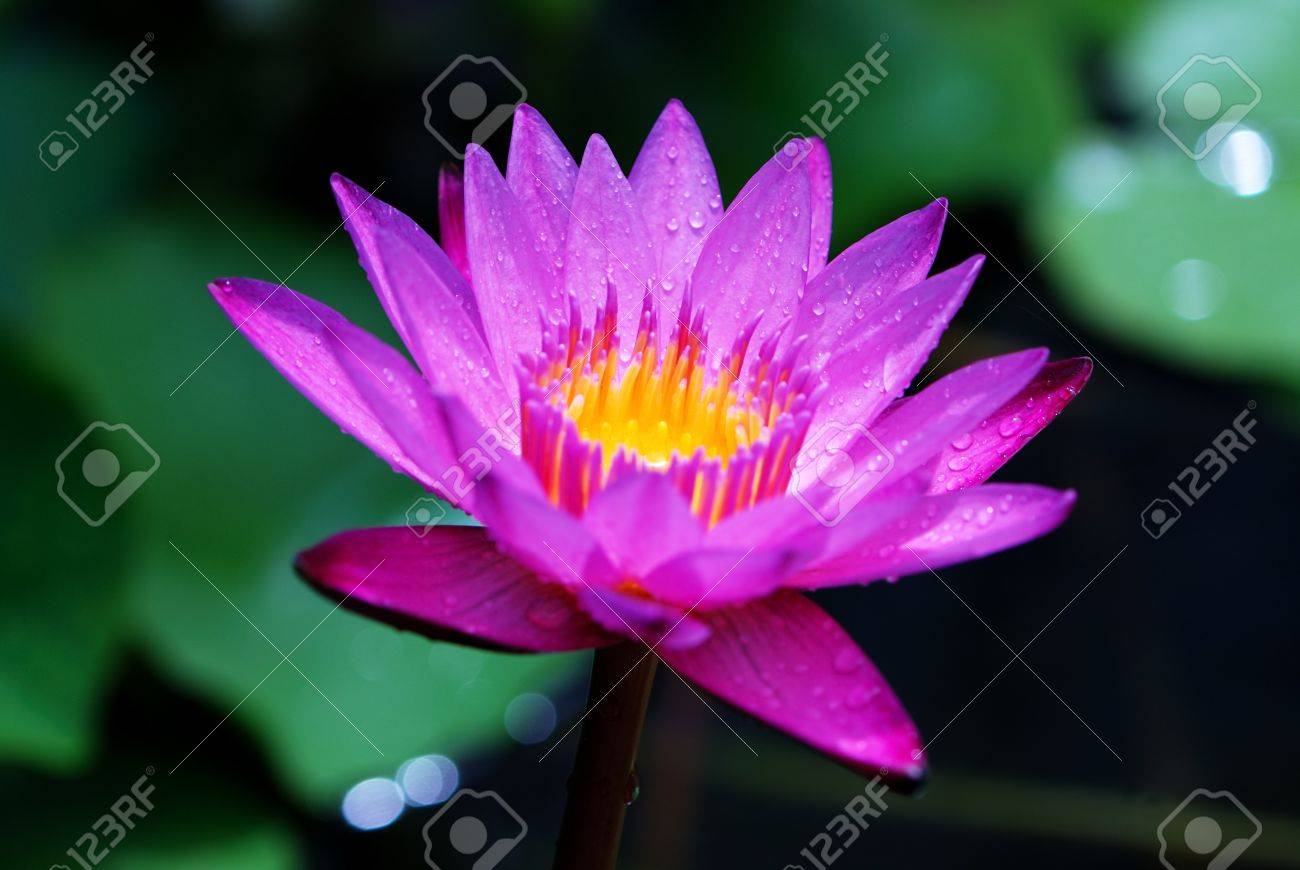 Water Lily Stock Photo - 7948616