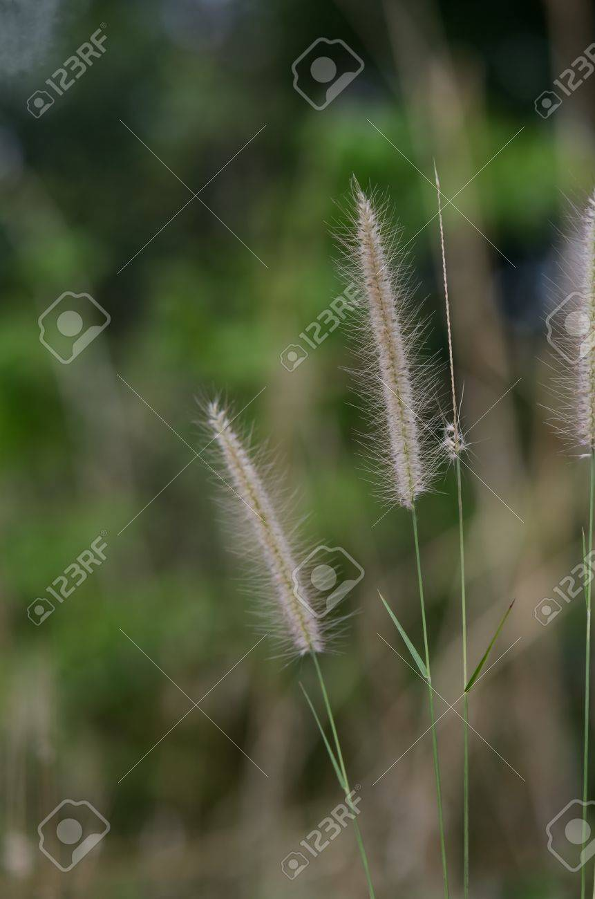 The Foxtails of the genus setaria grass Stock Photo - 13492925