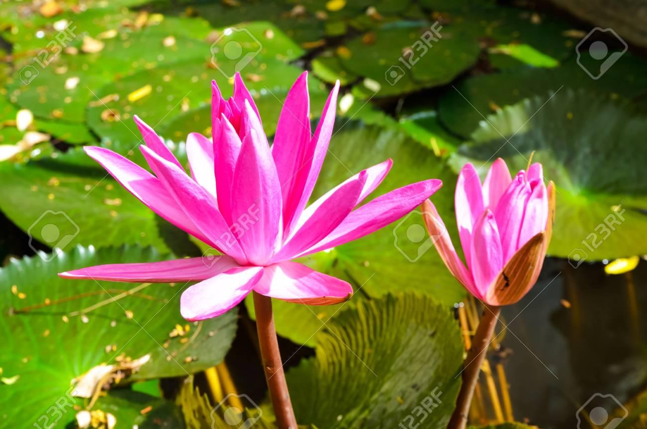 Lotus pink flower Stock Photo - 21896620