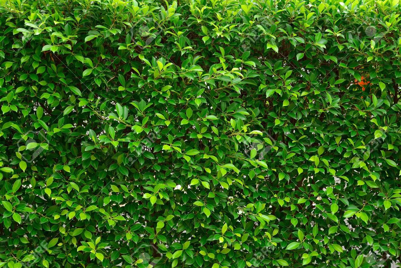 Grune Blatter Zaun Hintergrunde Lizenzfreie Fotos Bilder Und