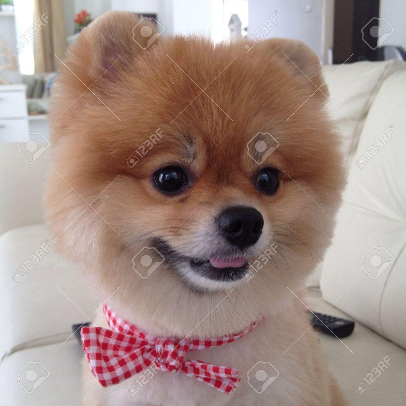 Pommerschen Hund Pflege Bär Stil Niedliche Haustiere Lizenzfreie