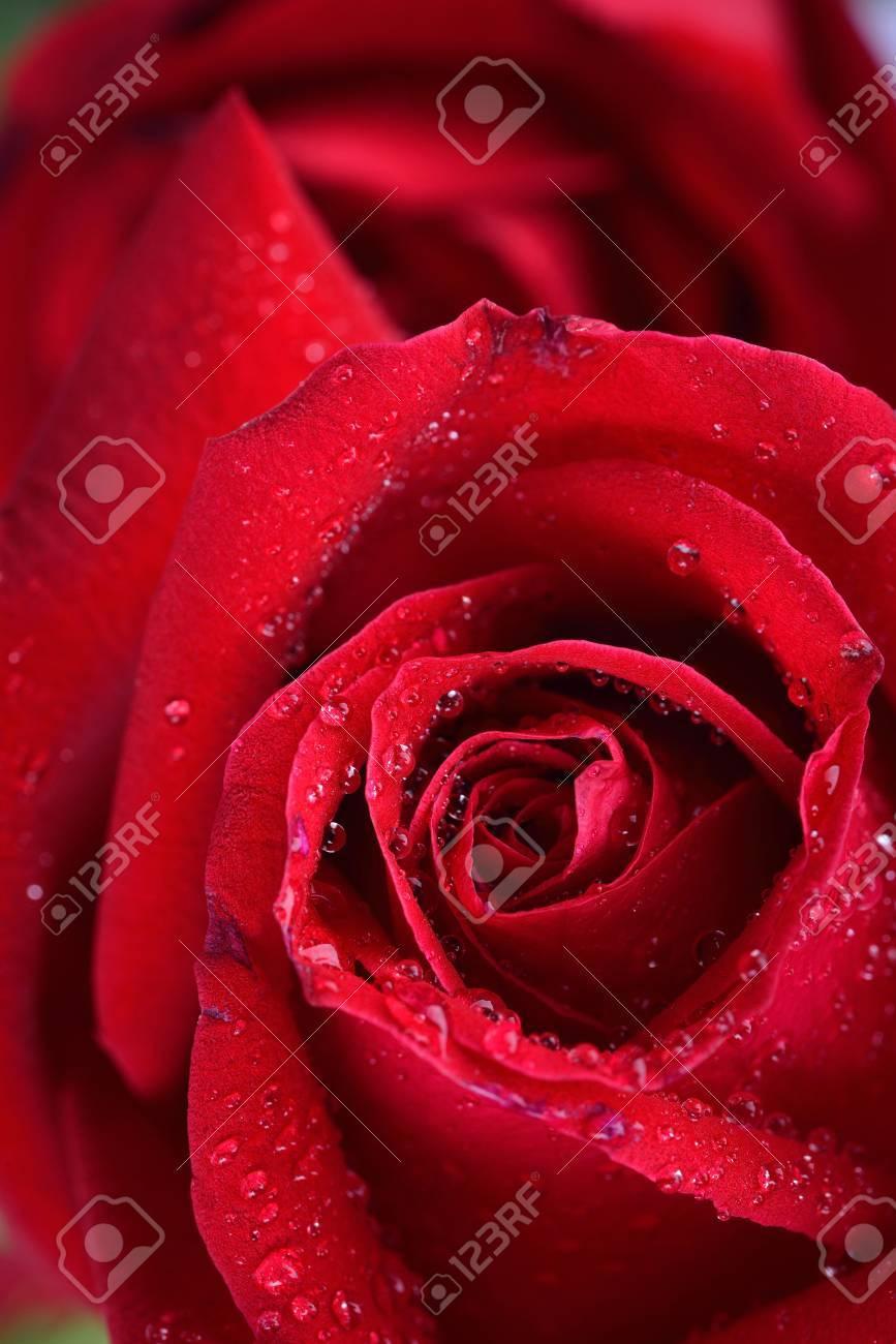 Fleur Rose Rouge Fond Rosee De L Eau Goutte Sur Rose Banque D