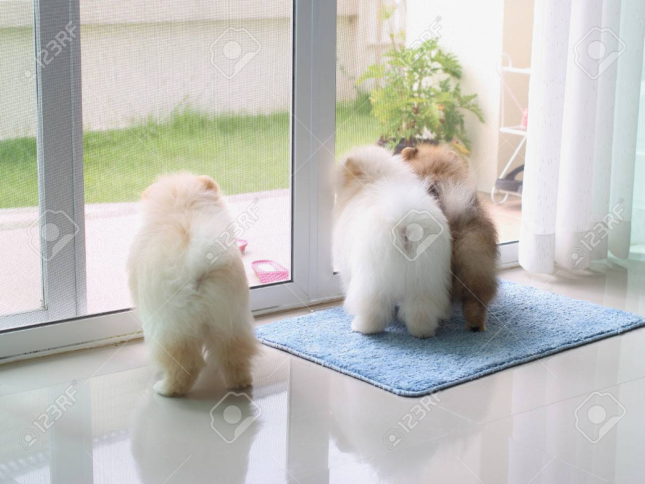 Three Pomeranian Puppy Dogs In Home Looking For The Owner Pets