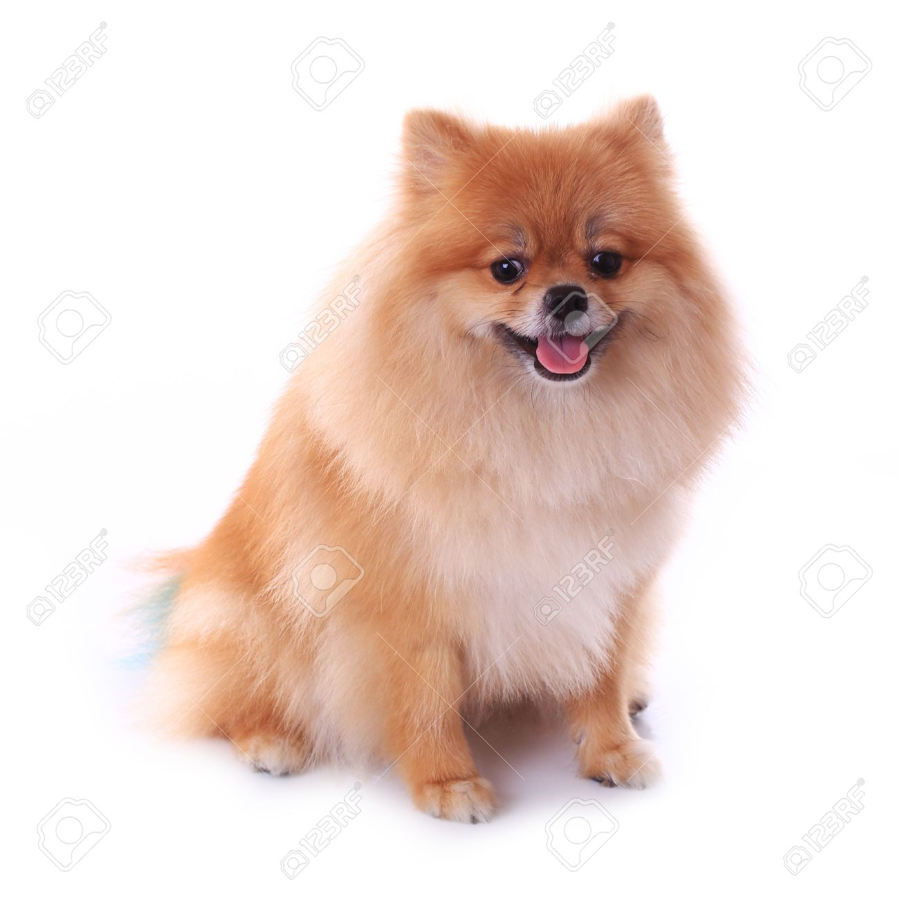 Brown Pomeranian Dog Isolated On White Background Cute Pet In