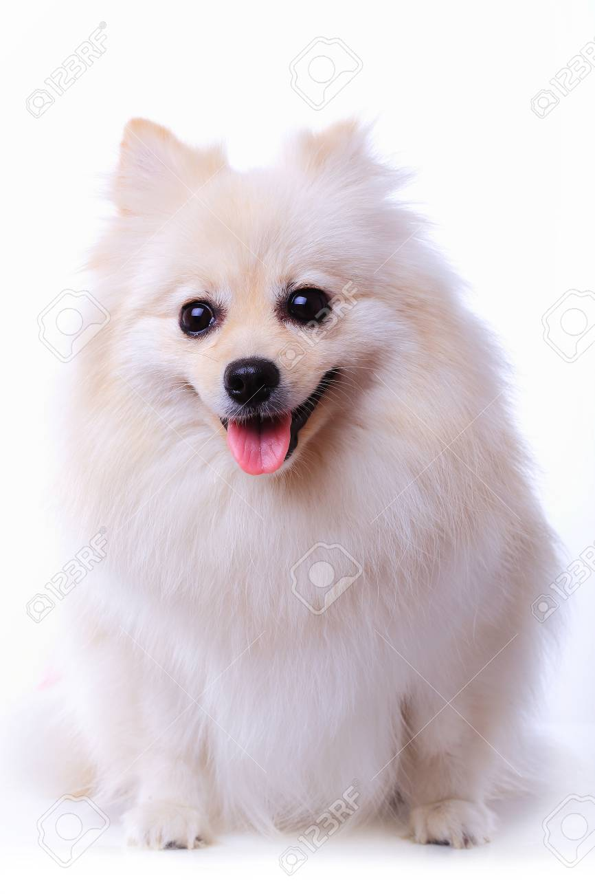 White Pomeranian Puppy Dog Isolated On White Background Cute Stock Photo Picture And Royalty Free Image Image 29546292