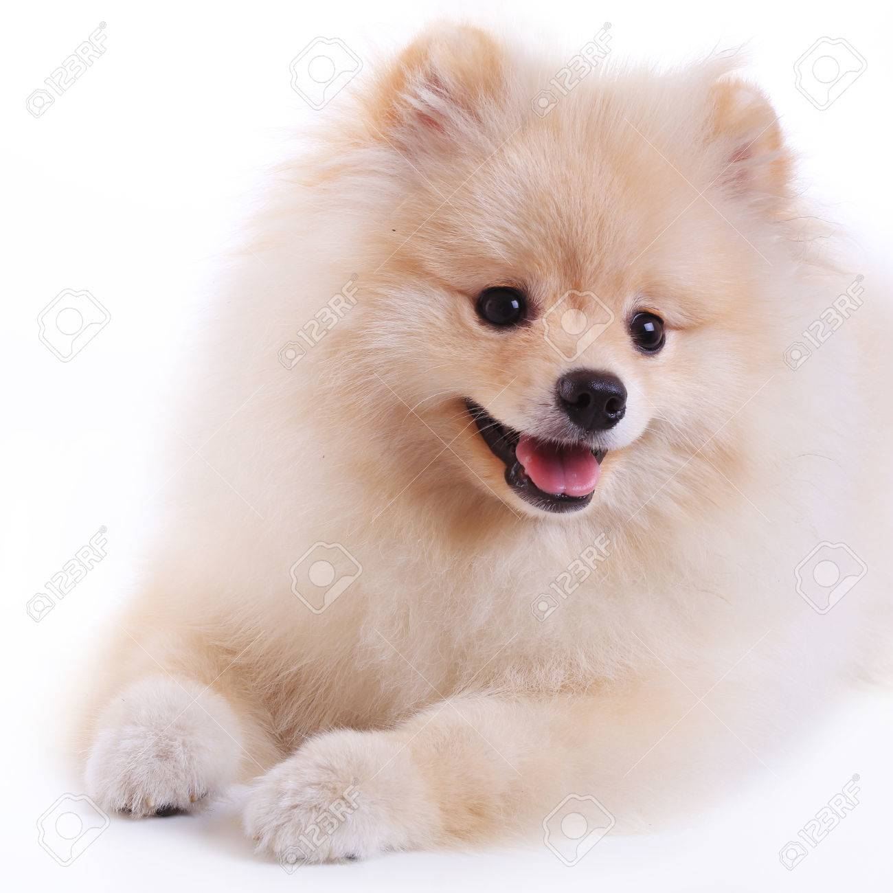 White Pomeranian Puppy Dog Cute Pet Stock Photo Picture And Royalty Free Image Image 29543908