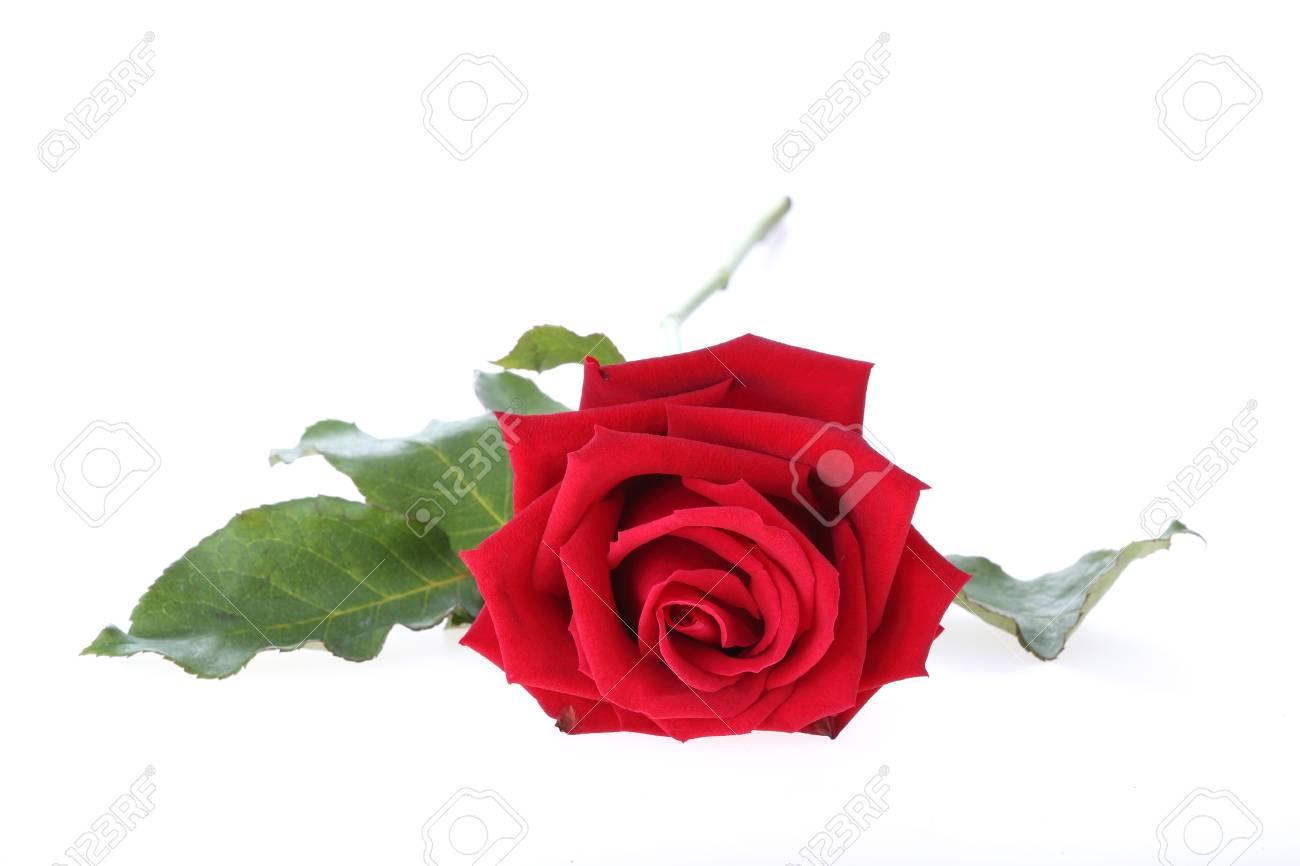 Immagini Stock Fiore Rosa Rossa Isolata Su Sfondo Bianco Image