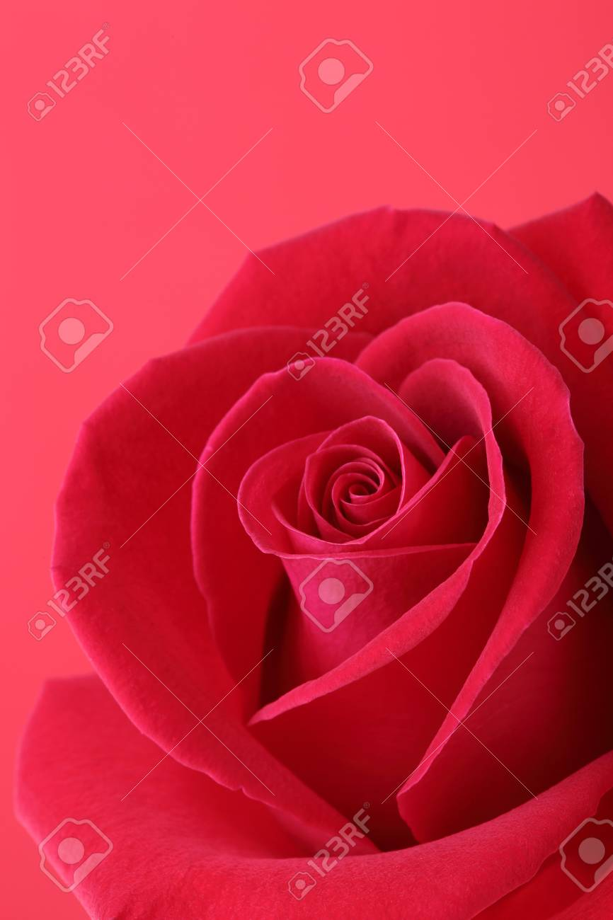 Fleur De Rose Rouge Avec De Beaux Petales Forme Coeur Banque D