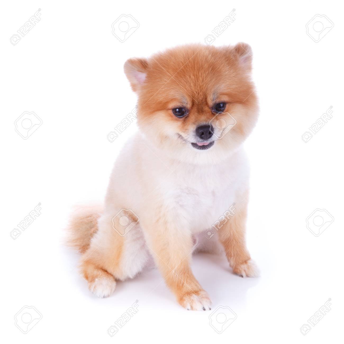 Pomeranian Dog Brown Short Hair On White Background Stock Photo