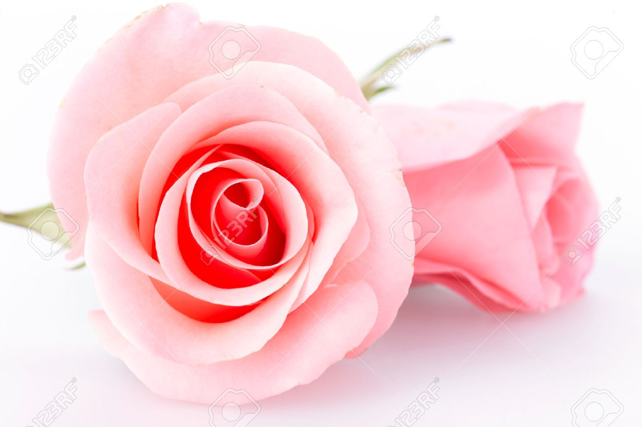 Pink Rose Flower On White Background Stock Photo Picture And