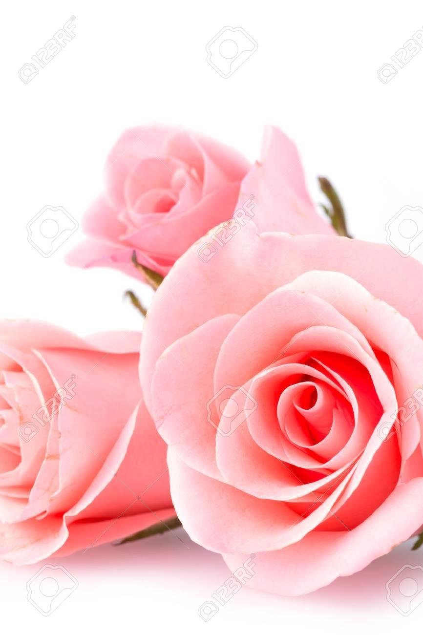 Pink Rose Flower On White Background Standard Bild
