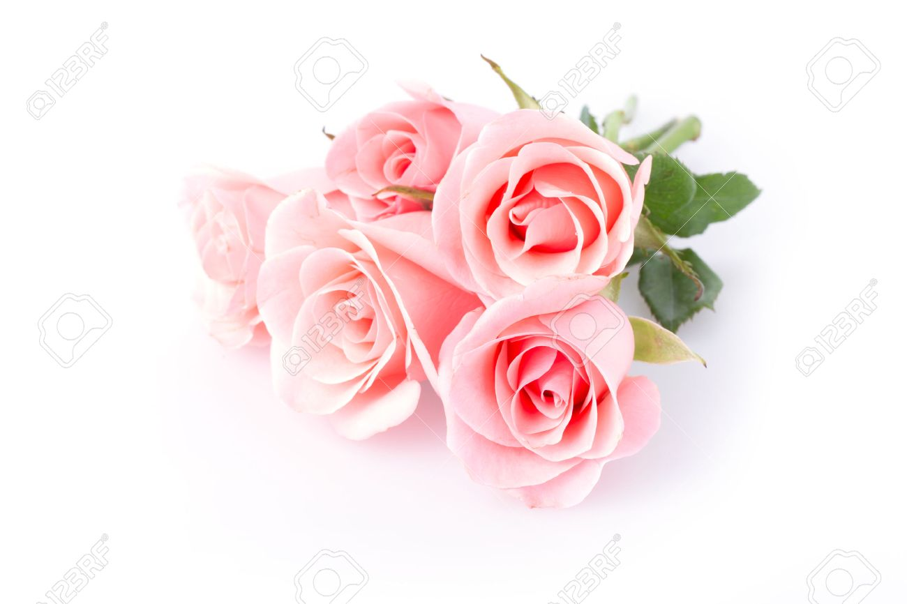 Pink Rose Flower On White Background Stock Photo