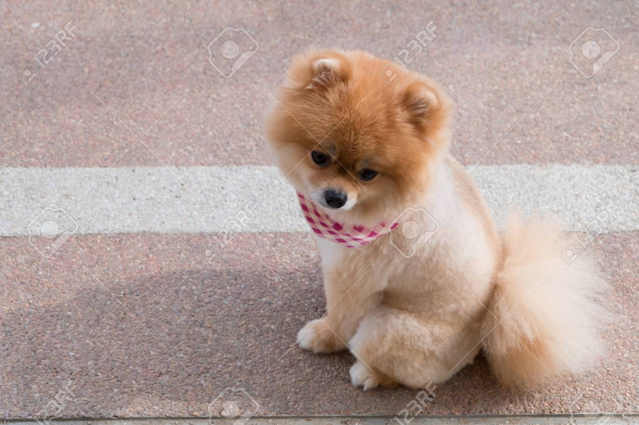 pomeranian puppy dog grooming with short hair, cute pet smiling..