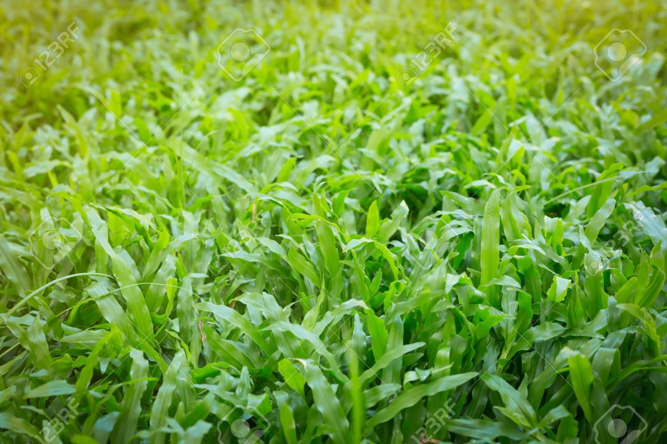 green grass turf garden in morning day time, natural eco background