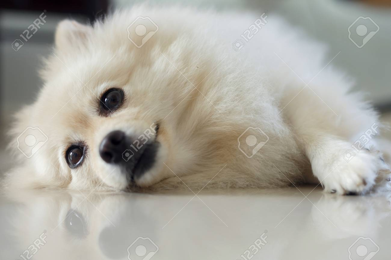 Fluffy White Pomeranian Cute Dog Small Pet Friendly In Home Stock