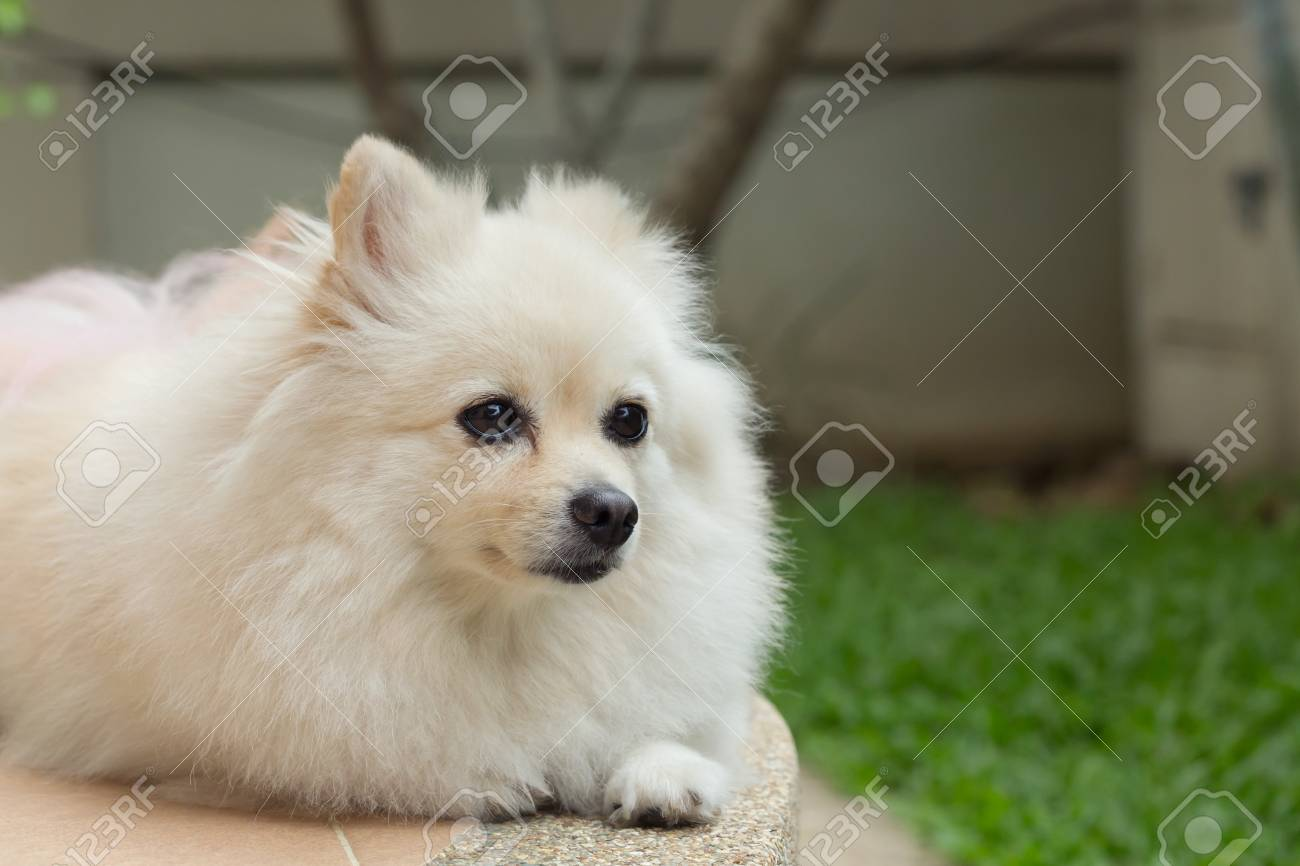 Great Pomeranian Canine Adorable Dog - 77768404-fluffy-white-pomeranian-cute-dog-small-pet-friendly  Photograph_512569  .jpg