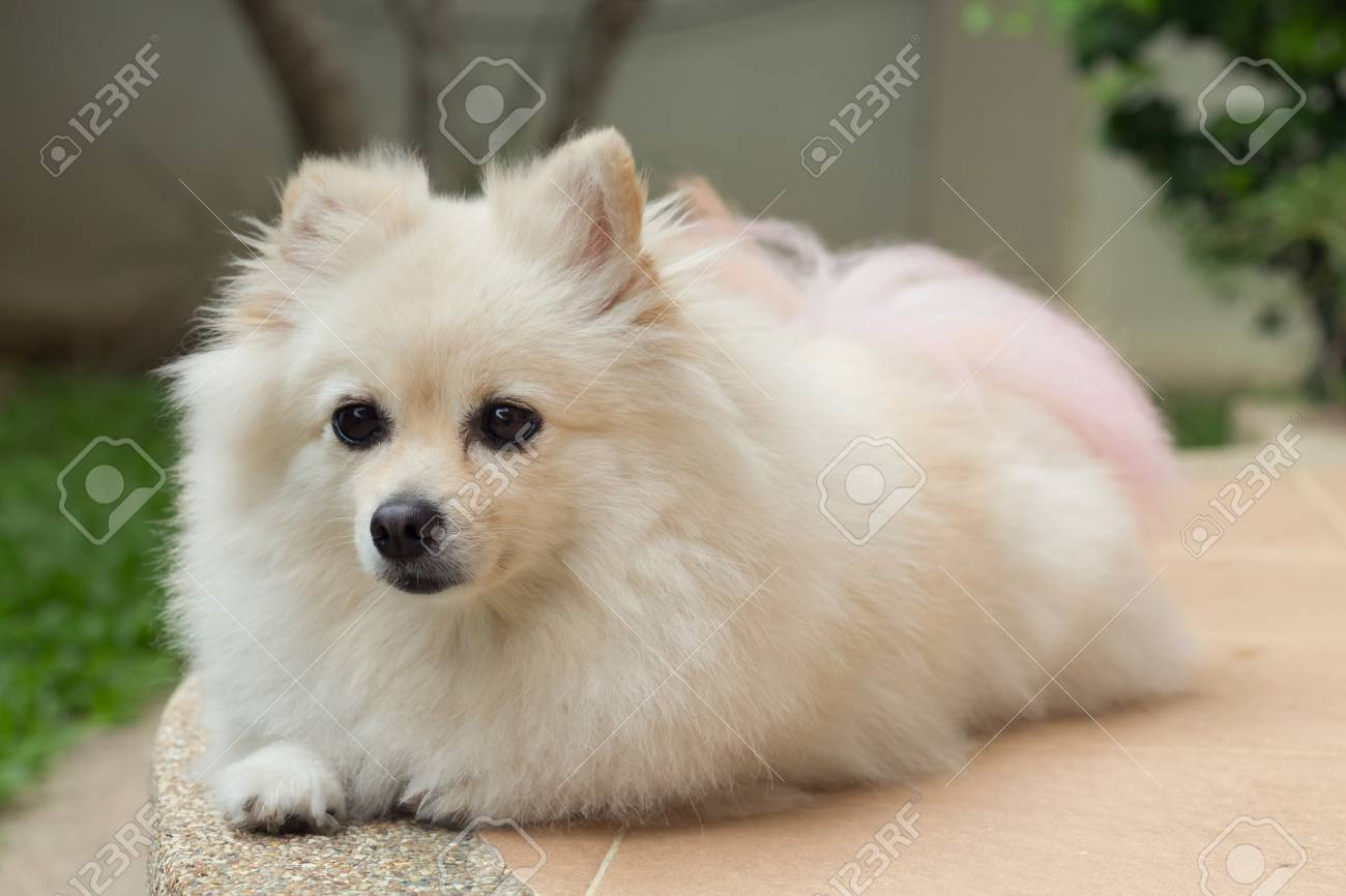 Fluffy White Pomeranian Cute Dog Small Pet Friendly Stock Photo